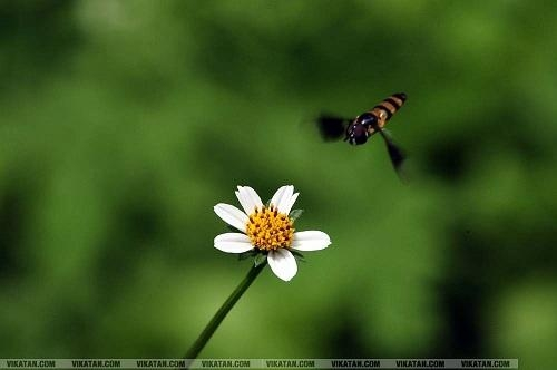 தேனீ மகரந்தச் சேர்க்கை