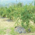 ₹ 2,50,000 per acre... Pomegranate under Organic Farming Practice..!