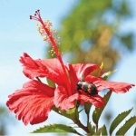 High-yielding Hibiscus... ₹ 3,80,400 Yearly Profit per acre..!