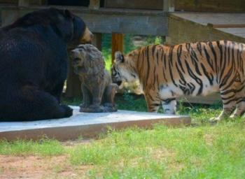 ஒரே கூண்டில் புலி, சிங்கம், கரடி... இது விலங்குகளின் 'நண்பேண்டா' வெர்ஷன்!
