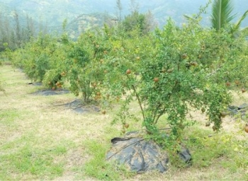 ₹ 2,50,000 per acre... Pomegranate under Organic Farming Practice..!