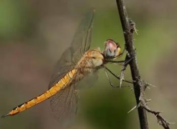 பெயர்: தட்டான்... வயது: 325 மில்லியன் ஆண்டுகள்... இப்போதைய நிலைமை: கவலைக்கிடம்! #LetDragonflyFly