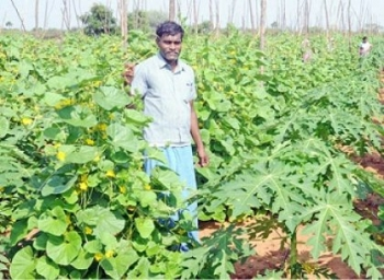 ₹3,40,000  Profit per acre... Ever-promising Papaya ..! #OrganicFarming