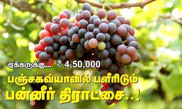 Panneer grapes