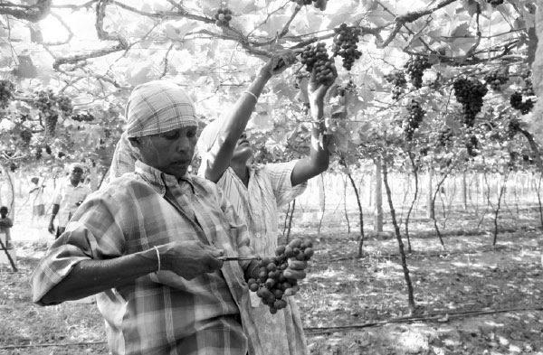 panneer grapes harvesting