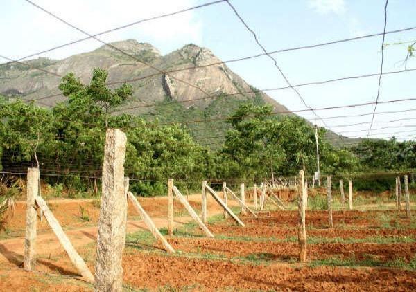 panneer grapes farm