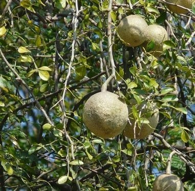 Wood apple -Vilampalam