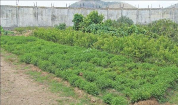 Mullai flowers cultivation