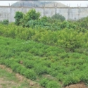 Rs.1,500 income per day...Lucrative Returns from Mullai Flower (Jasminum sambac) Cultivation