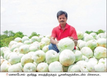 4 acres... 85 days... ₹2,20,000... White Pumpkin Cultivation in Abundance!