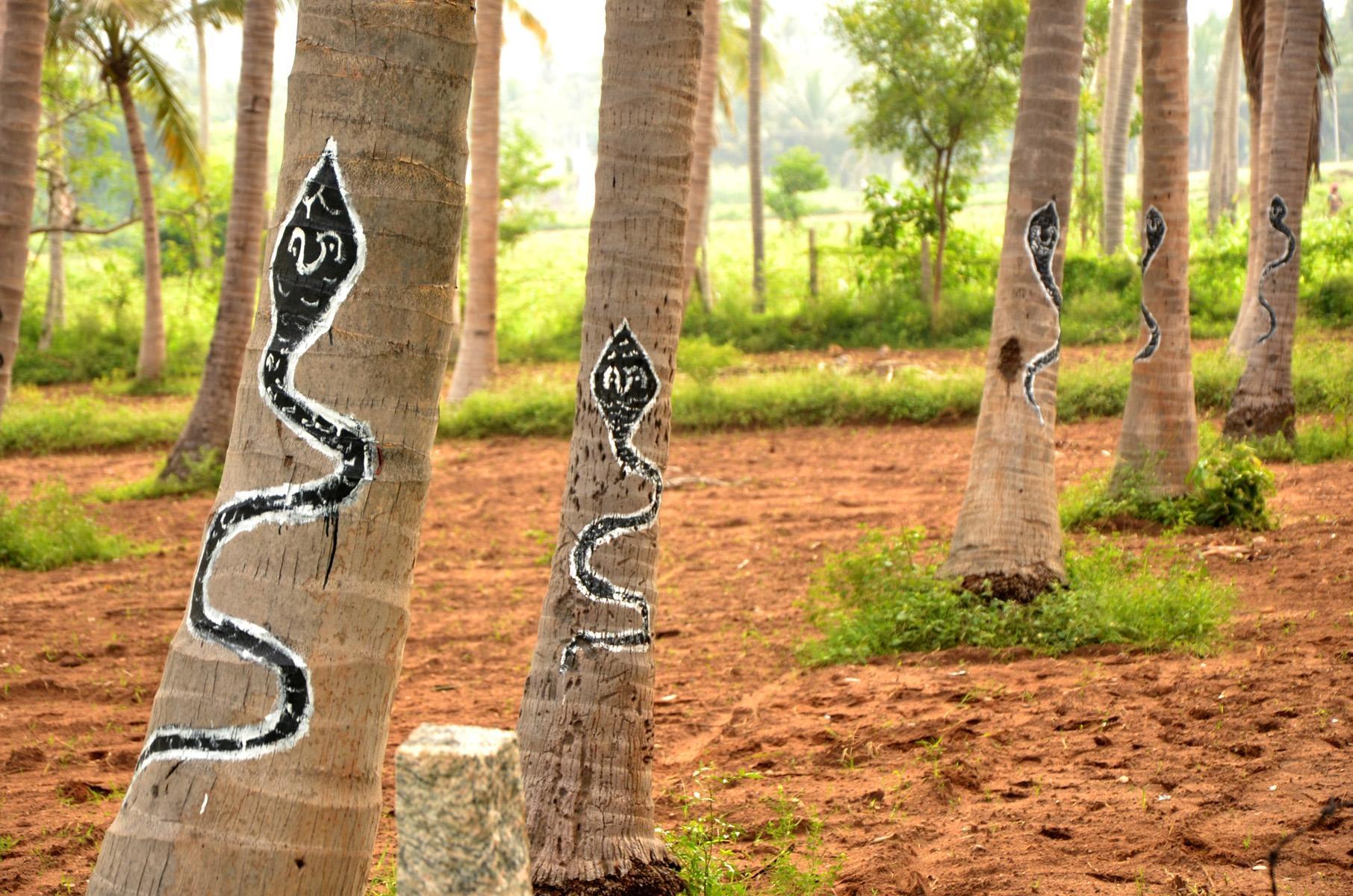 சிங்கம்புணரி விவசாயியின் தென்னை மரங்கள்