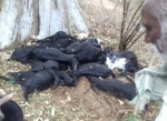 நெல்லையில் மின்னல் தாக்கியதில் 21 ஆடுகள் பலி..!