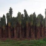 அழிவின் விளிம்பில் ஈச்சை மரங்கள்… பன்னாட்டு மோகம்தான் காரணமா? #VikatanExclusive