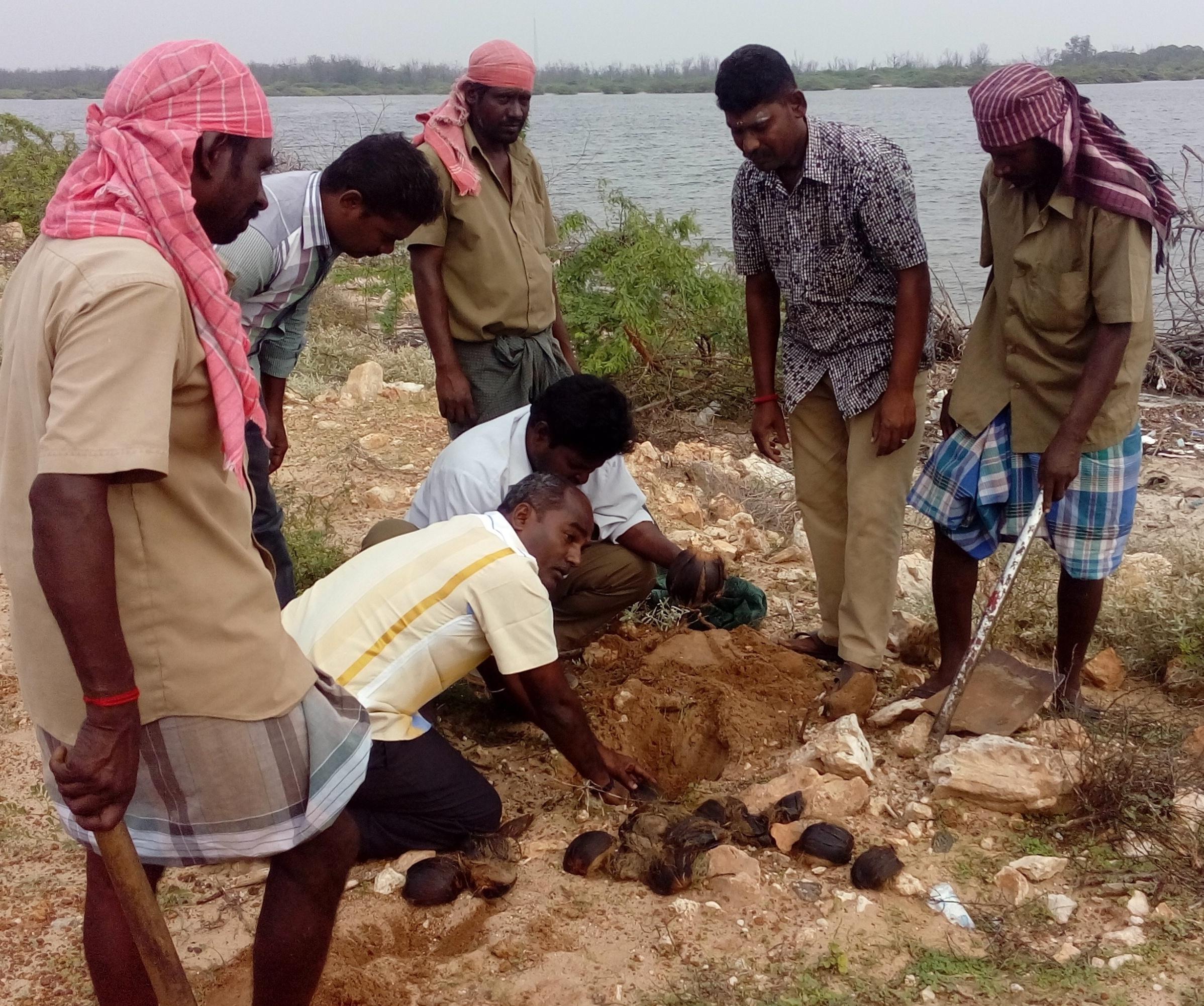 தனுஷ்கோடி சாலையில் பனை மர கொட்டைகள் விதைக்கும் பணி