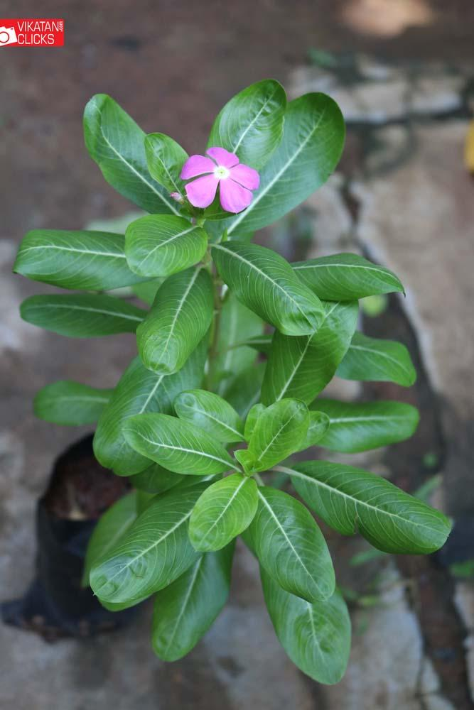 நித்திய கல்யாணி