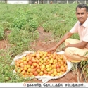 Amazing Profit from Tomato Cultivation... Half Acre...130 days….₹ 2,60,000 gain!