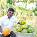 ₹3 lakh profit from an acre... Papaya's income despite drought!