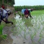 நெல்லை மாவட்டத்தில் பெய்யும் மழையால் 20,000 ஹெக்டேரில் நெல் நடவுப் பணிகள்!