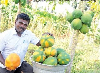 ₹3 lakh profit from an acre... Papaya's income despite drought!