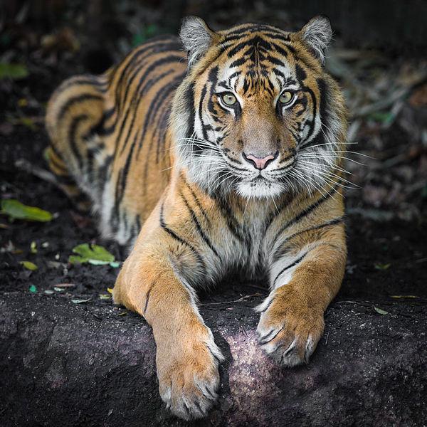 சுமத்ரன் புலி
