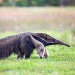 எறும்புத்தின்னிகளின் விலை என்ன தெரியுமா? -  விலங்குகளை வேட்டையாடும் மனித மிருகம்!  அத்தியாயம் 2 #AnimalTrafficking