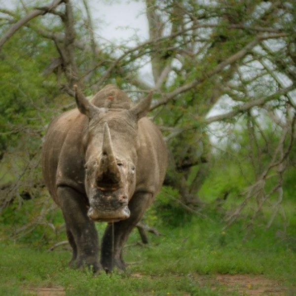 ஒரு கிலோ கொம்பு 2 கோடி ரூபாய்... காண்டாமிருகம் என்றால் காசு!  #AnimalTrafficking - அத்தியாயம் 3