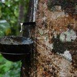 குமரி ரப்பர் விவசாயிகளை கண்ணீரில் தள்ளிய ஒகி புயல்!