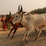 உட்றேஏஏஏஏ... கோவை மாணவர்கள் நடத்திய பரபர ரேக்ளா ரேஸ்!