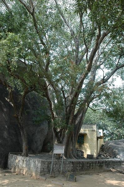 சித்தர் மரங்கள்