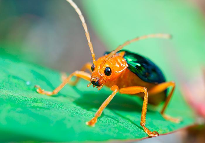 வாயு வெளியேற்றும் பூச்சி  Beetle
