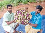 2 Acres... 200 Days... ₹3 Lacs... Super Returns from Manaparai Brinjal!