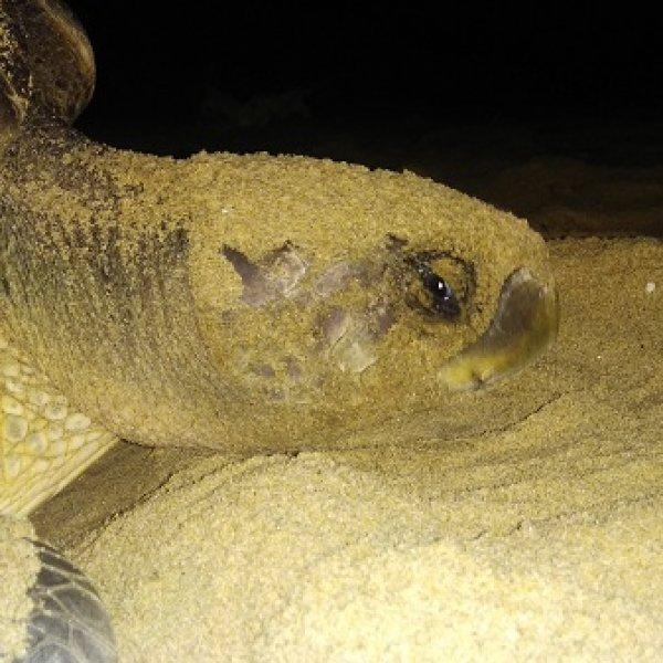 ஆமை நடனம்... ஆம்லெட்... மெரீனாவில் 125 முட்டையிட்ட கடல் ஆமை... ஒரு லைவ் ரிப்போர்ட்!
