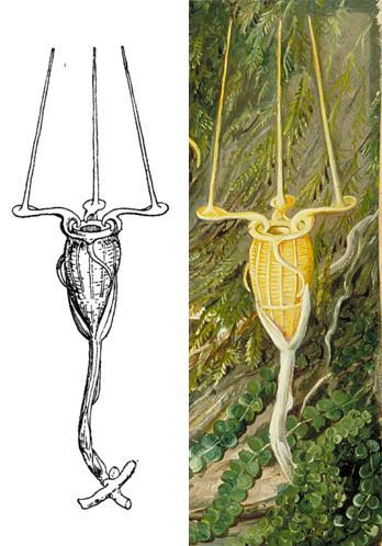 ஒட்டுண்ணி தாவரம் திஸ்மியாநெப்டியூனிஸ் (Thismia neptunis)