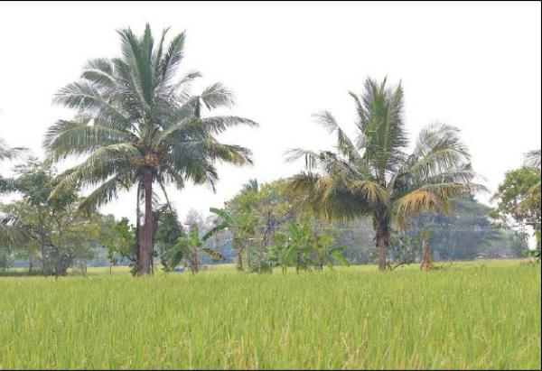 coconut tree, paddy and plantain
