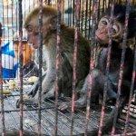 வெறும் 55 டாலருக்காக கடத்தப்படும் குரங்குகள்... அவற்றை என்ன செய்கிறார்கள்? #AnimalTrafficking அத்தியாயம் 14
