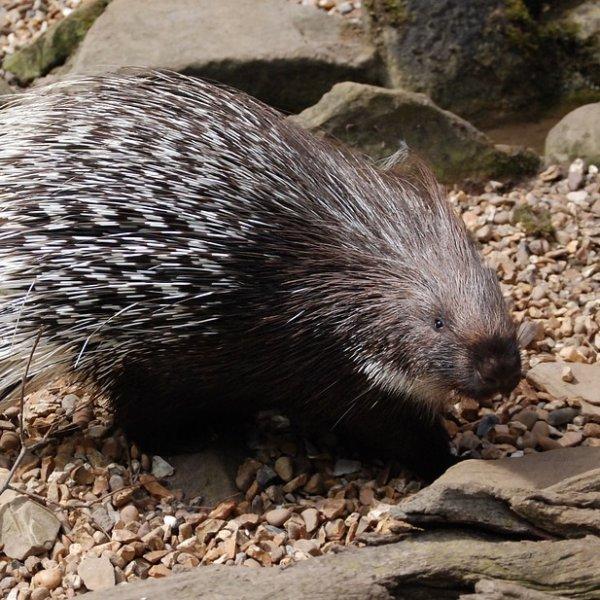 ``என் ஏரியாவுல நான்தான் தாதா..!'' புலி, சிறுத்தையைக் கூட மிரட்டும் முள்ளம்பன்றிகள் #Porcupines