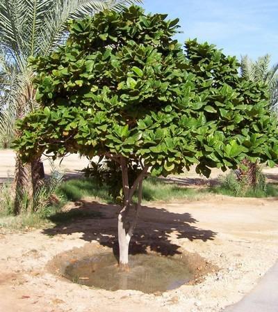 கத்தாரில் வாதம் மரம்