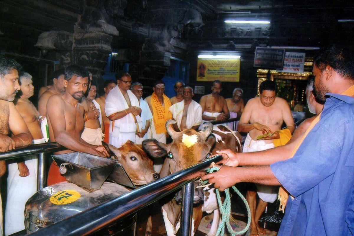 கன்னியாகுமரி பகவதி அம்மன் கோயிலில் கோபூஜை