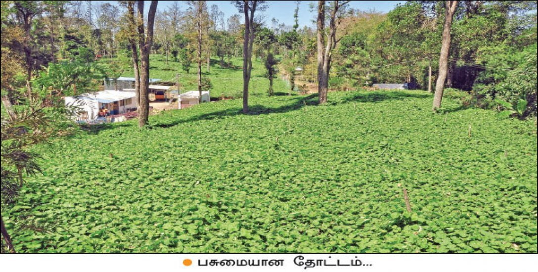 Astounding Income from Chow Chow Cultivation...  1.50 lacs from One Acre!
