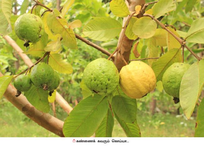 Guava Fruit Tree