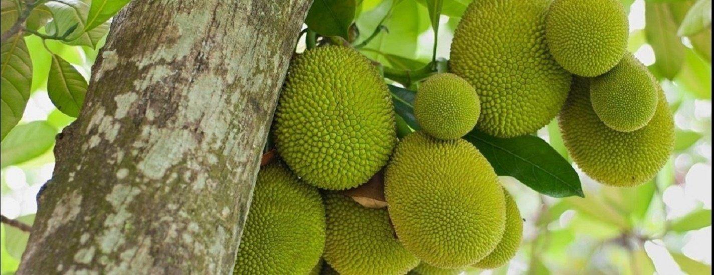 தெருவெங்கும் வாசனை வீசும் பலாப்பழம்... யாரெல்லாம் சாப்பிடலாம், சாப்பிடக் கூடாது? #Jackfruit