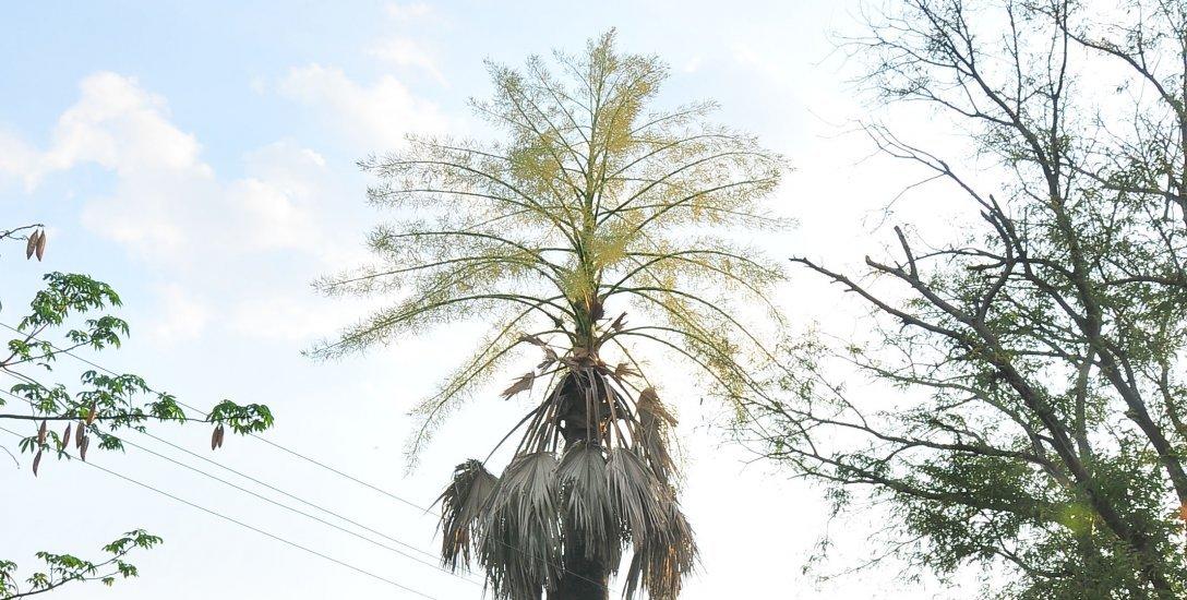 விக்டோரியா மகாராணிக்கு விசிறியான தாளிப்பனை மரம்... சுவாரஸ்யத் தகவல்கள்!