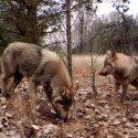 அணு சக்தியால் மனிதன் அழித்த இடத்தை மீட்டெடுக்கும் விலங்குகள்..! #Chernobyl