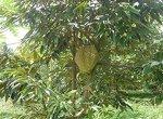 மலச்சிக்கல், மஞ்சள்காமாலை, காய்ச்சல்... மருந்தாகும் துரியன் பழம்! #DurianFruitBenefits