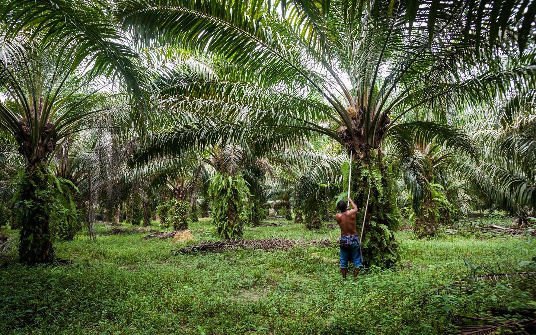 பனை மரம் (Palm Tree)