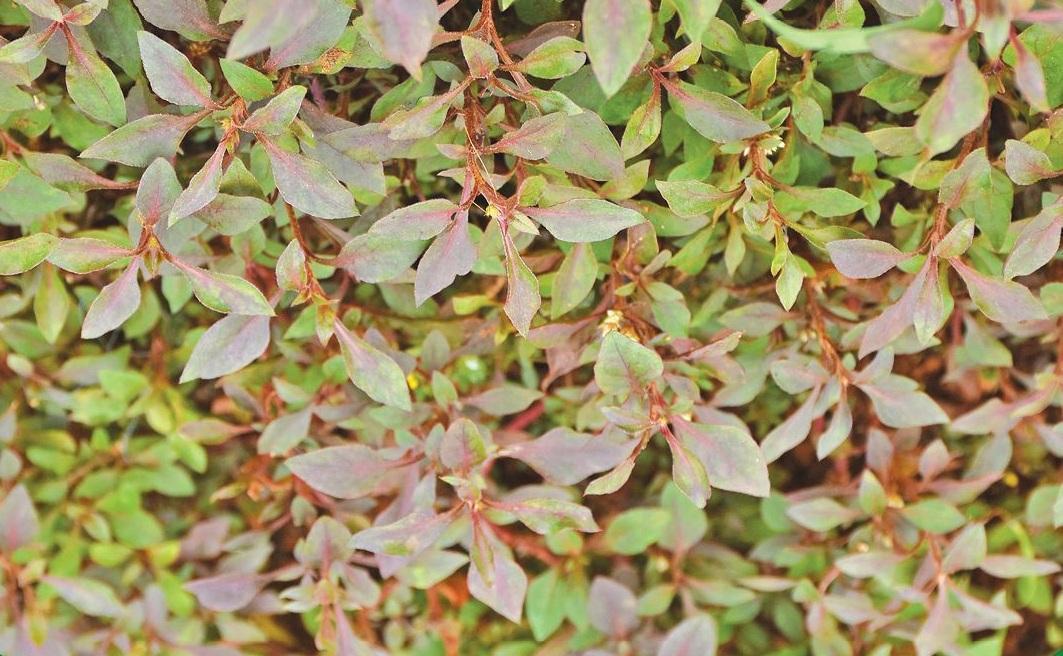 Ponnangkanni - Green varieties