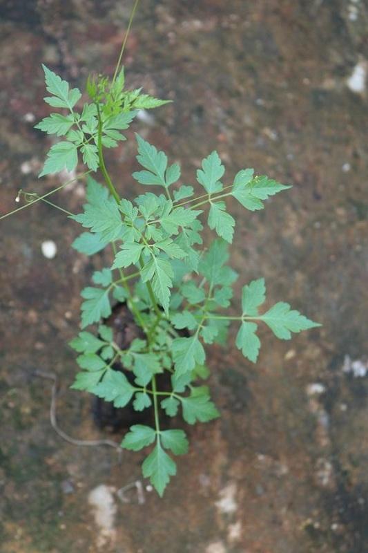 Mudakkaruthaan - Green varieties