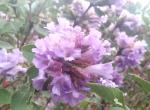 நீல மலையாக மாறிய நீலகிரி! பிரமிப்பை ஏற்படுத்திய குறிஞ்சிப் பூ சீசன்