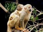 `கொலம்பியாவில் பிறந்த சிலந்தி குரங்கு!' - கொண்டாடும் உயிரியல் பூங்கா