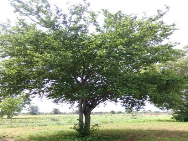 ஆத்தி மரம்